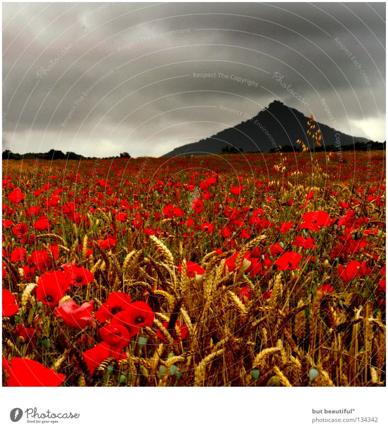 mohnschein° Mohn Feld Stimmung grau Mohnfeld Wolken poetisch geheimnisvoll Sommer schön Berge u. Gebirge Himmel Fabren Korn Geheimnissvoll Traurigkeit