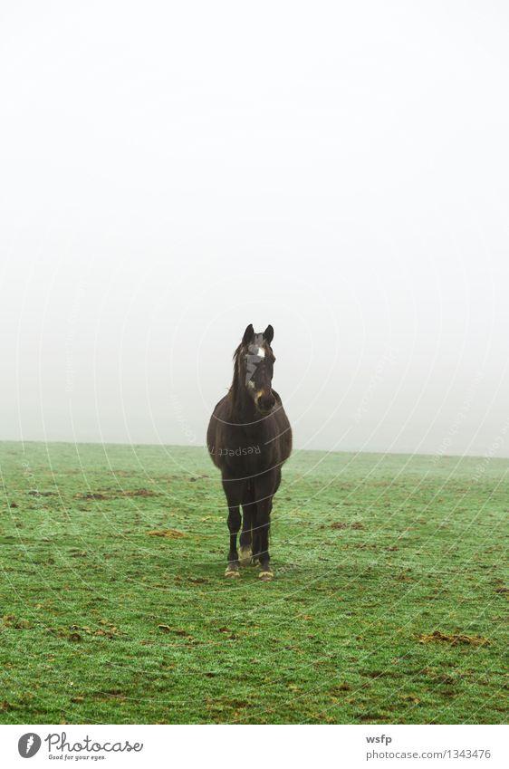 Pferd im Nebel auf einer Wiese Tier Nutztier grün schwarz weide reiten angucken Blick