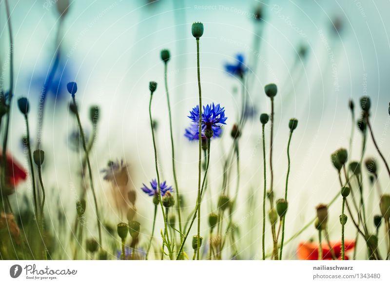 Feld mit Kornblumen Sommer Sonne Umwelt Natur Pflanze Blume Wildpflanze Garten Blühend Duft Wachstum natürlich schön blau Frühlingsgefühle Romantik friedlich