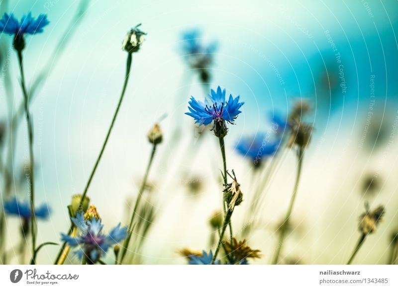 Feld mit Kornblumen Sommer Sonne Umwelt Natur Landschaft Pflanze Frühling Blume Blüte Wildpflanze Blühend Wachstum natürlich schön blau gelb Romantik friedlich