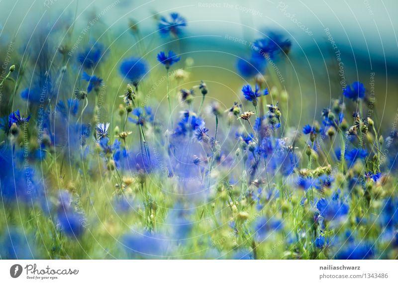 Feld mit Kornblumen Natur Pflanze blau grün schön Sommer Sonne Blume Landschaft Umwelt Wiese natürlich Garten Park Wachstum