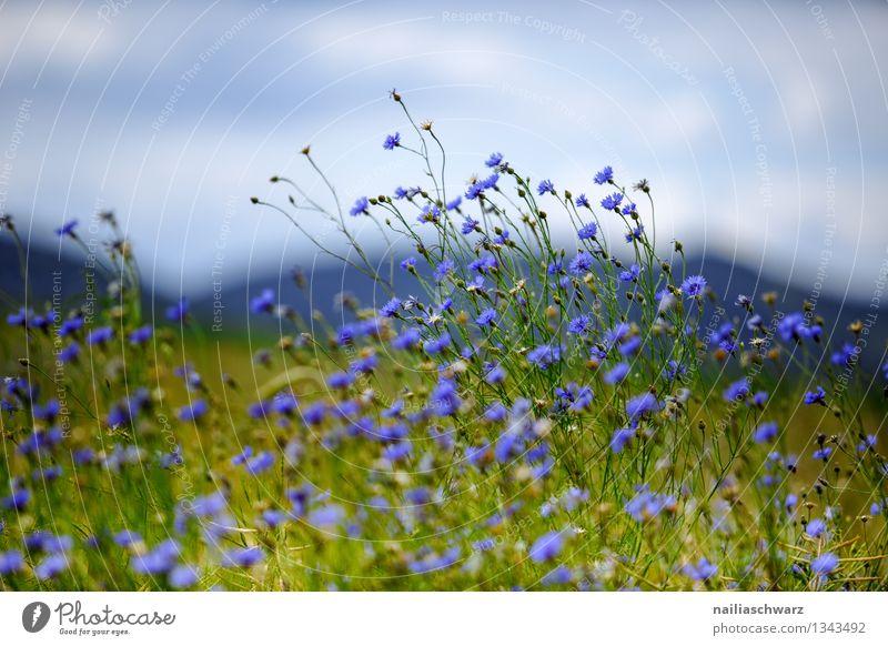 Feld mit Kornblumen Sommer Sonne Umwelt Natur Landschaft Pflanze Blume Gras Wildpflanze Hügel Duft Wachstum natürlich schön blau grün Frühlingsgefühle Romantik