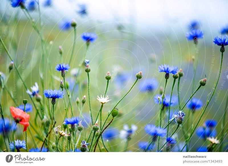 Feld mit Kornblumen Sommer Sonne Natur Landschaft Pflanze Schönes Wetter Blume Wildpflanze Garten Wiese Blühend Duft Wachstum frisch natürlich schön blau grün