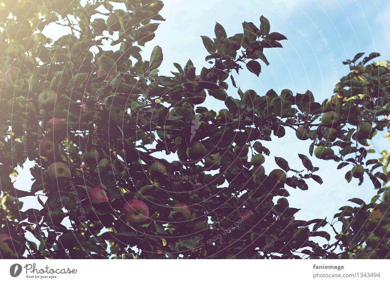 Apfelbaum Natur blau Baum rot Gesunde Ernährung Blatt dunkel Herbst natürlich Garten Frucht lecker Bioprodukte Ernte Baumkrone