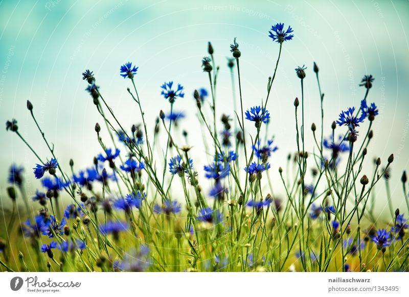 Feld mit Kornblumen Sommer Sonne Umwelt Natur Pflanze Himmel Blume Gras Wildpflanze Blühend Duft Wachstum natürlich blau grün Romantik friedlich Umweltschutz