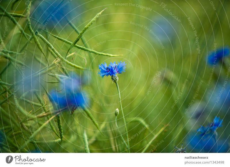 Feld mit Kornblumen Sommer Sonne Umwelt Natur Pflanze Frühling Blume Gras Blüte Wildpflanze Blühend Wachstum natürlich schön blau grün Frühlingsgefühle