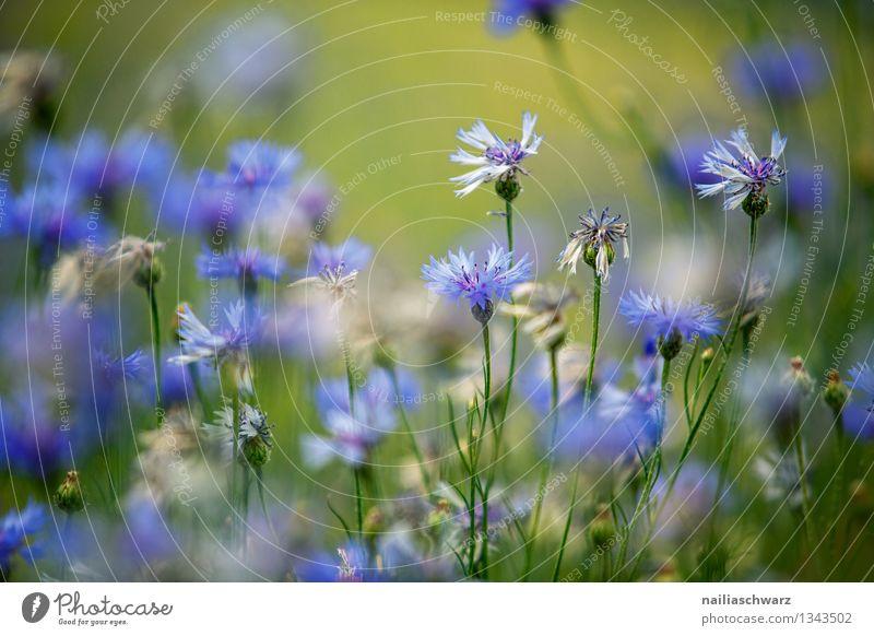 Feld mit Kornblumen Sommer Sonne Umwelt Natur Pflanze Blume Blüte Wildpflanze Garten Park Blühend Wachstum natürlich schön blau Frühlingsgefühle Romantik