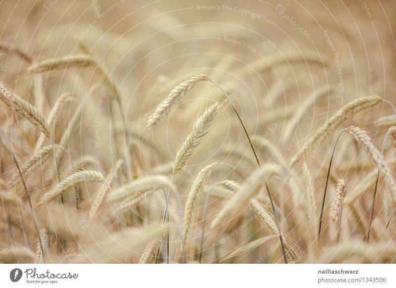 Weizenfeld Getreide Sommer Landwirtschaft Forstwirtschaft Umwelt Natur Pflanze Herbst Nutzpflanze Getreidefeld Feld Wachstum natürlich schön gelb friedlich