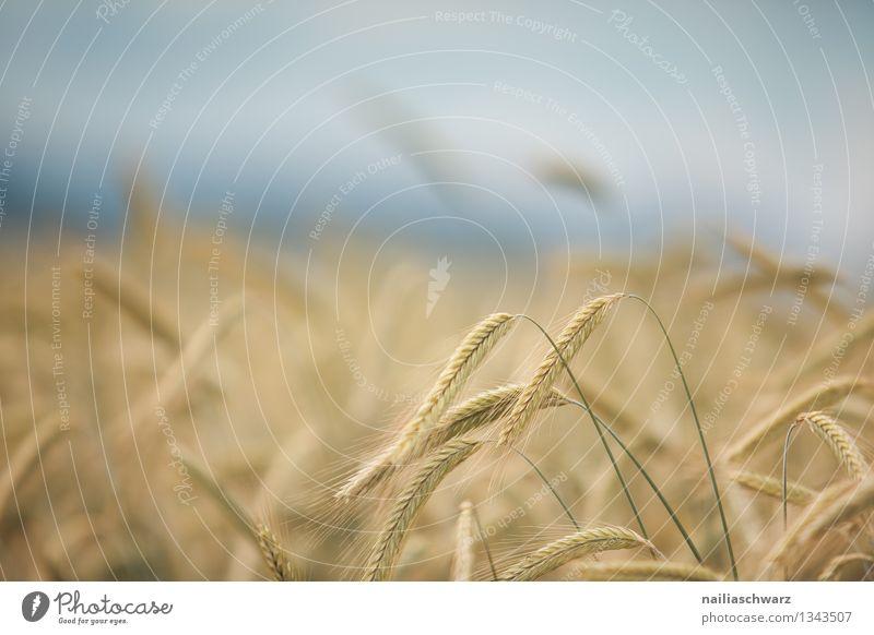 Weizenfeld Natur Pflanze blau schön Sommer Landschaft Umwelt gelb natürlich Gesundheit Horizont Feld Wachstum Idylle Unendlichkeit Landwirtschaft