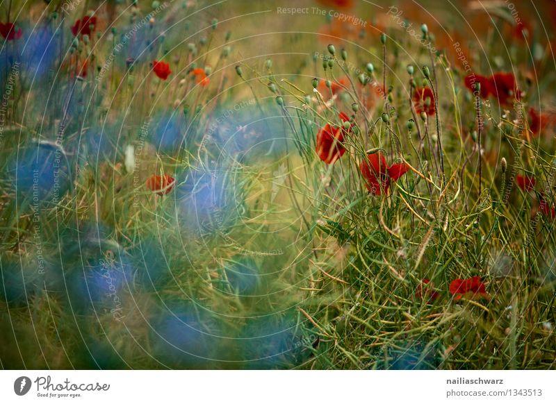 Mohnblumen und Kornblumen Sommer Sonne Umwelt Natur Pflanze Blume Blüte Wildpflanze Feld Blühend Wachstum natürlich blau grün rot Romantik friedlich Klatschmohn