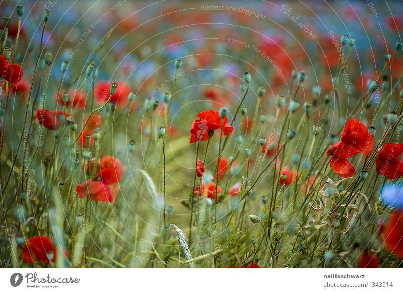 Mohnblumen und Kornblumen Sommer Sonne Umwelt Natur Pflanze Blume Blüte Wildpflanze Wiese Feld Duft Wachstum blau grün rot Romantik friedlich Idylle Klatschmohn