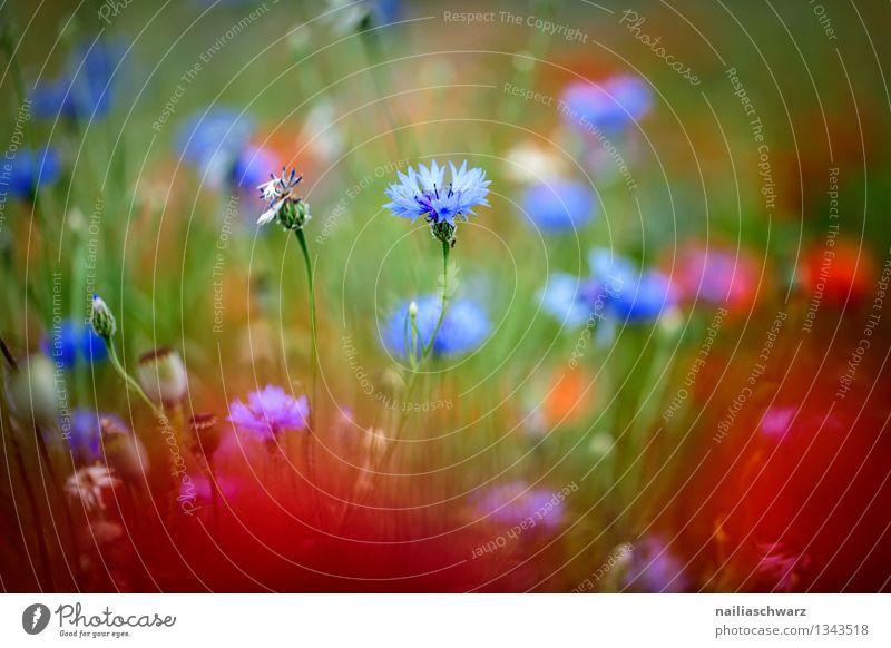 Mohnblumen und Kornblumen Sommer Sonne Umwelt Natur Pflanze Blume Garten Feld Blühend Wachstum natürlich schön blau mehrfarbig rot friedlich Frieden Klatschmohn