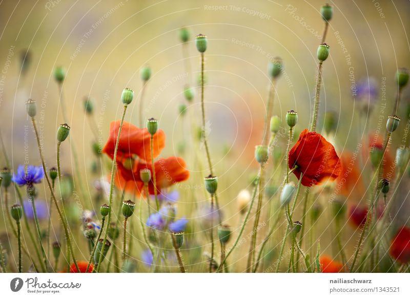 Mohnblumen und Kornblumen Sommer Sonne Umwelt Natur Pflanze Blume Wildpflanze Wiese Feld Blühend Wachstum natürlich blau gelb rot Romantik friedlich Idylle