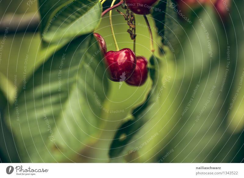 Kirschen Natur Pflanze grün schön Farbe Sommer Baum rot Blatt Umwelt Leben natürlich Frucht Wachstum Ernährung Ast