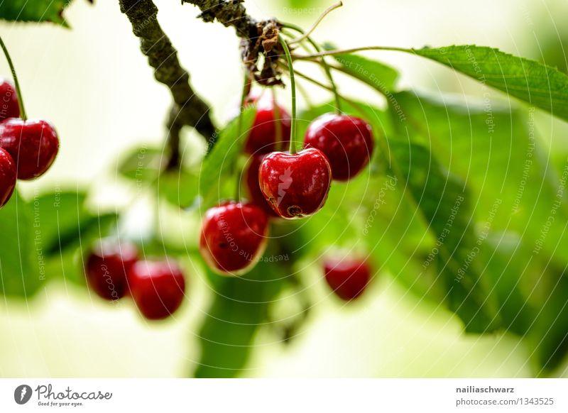 Kirschen Frucht Ernährung Bioprodukte Vegetarische Ernährung Diät Sommer Baum Blatt Nutzpflanze Gesundheit natürlich saftig sauer schön süß grün rot