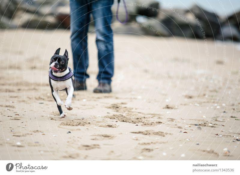 Mann mit Boston Terrier Hund Ferien & Urlaub & Reisen Mann schön Meer Freude Tier Strand Erwachsene Wege & Pfade lustig Küste Spielen Glück Sand Freundschaft