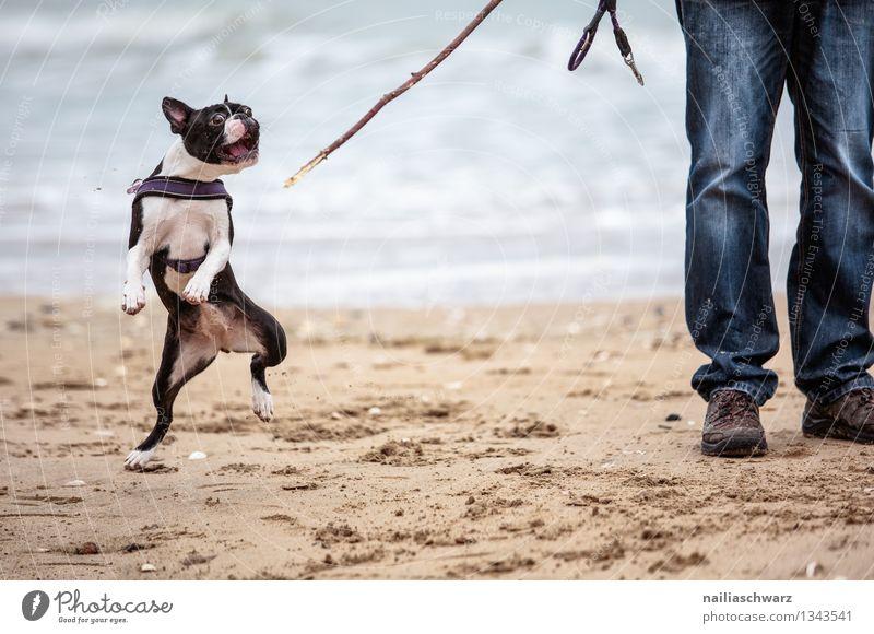 Mann mit Boston Terrier Hund Ferien & Urlaub & Reisen Mann blau schön Meer Freude Tier Strand Erwachsene Küste Spielen braun Sand Zusammensein Fröhlichkeit