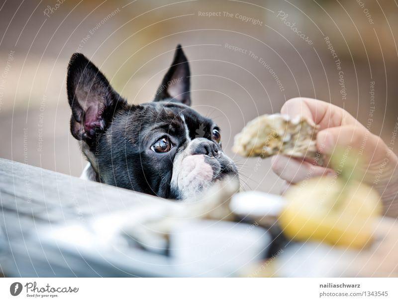 Boston Terrier im Restaurant Brot Fingerfood Tisch Hund 1 Tier beobachten Fröhlichkeit lecker Neugier niedlich Sympathie Tierliebe Begierde geduldig Hoffnung