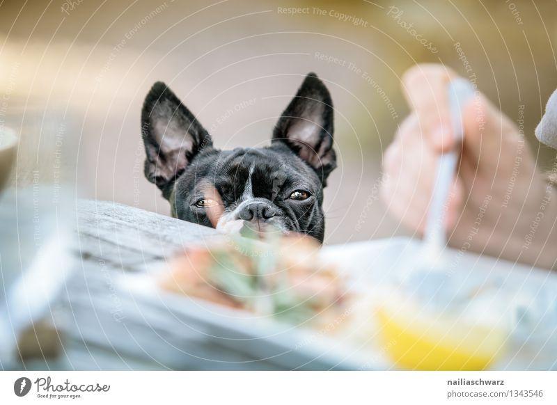 Boston Terrier im Restaurant Hund Mann schwarz Erwachsene natürlich grau braun Fröhlichkeit warten Tisch beobachten niedlich Neugier Hoffnung lecker Restaurant