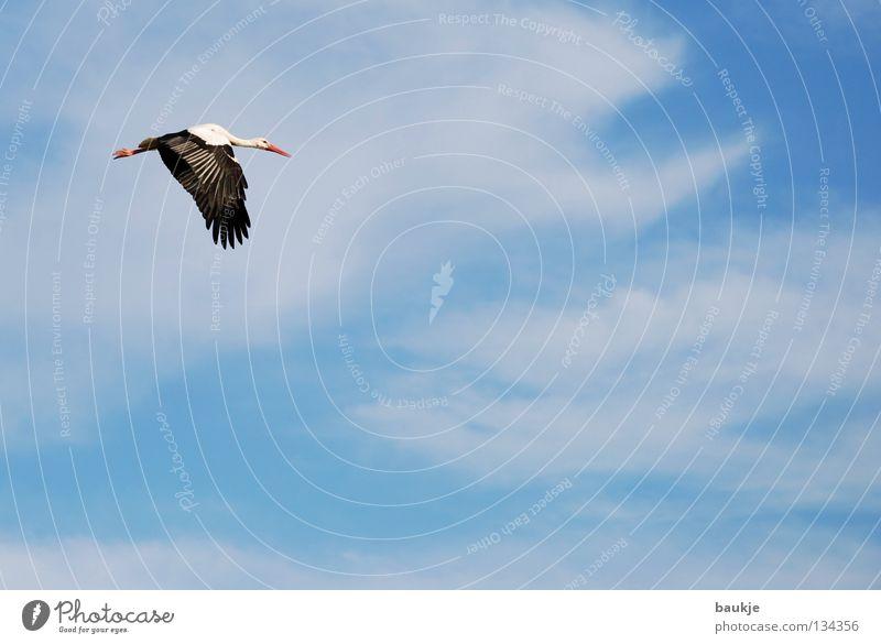 Klippklapp Storch Vogel Wolken weiß Nachkommen schwanger Luft Himmel Unendlichkeit Gelassenheit schön majestätisch Geburt fliegen blau Luftverkehr Flügel hoch
