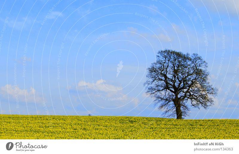 Ein Traum im Raps... Natur Himmel Baum blau ruhig Wolken gelb Frühling Freiheit Feld Wind Raps