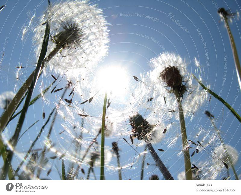 Sonnen - Schirmchen Beleuchtung Löwenzahn Hut Schweben Wiese weiß Blüte Blume Feld Himmel Vergänglichkeit blau hell verblüht Samen Natur Landschaft welk