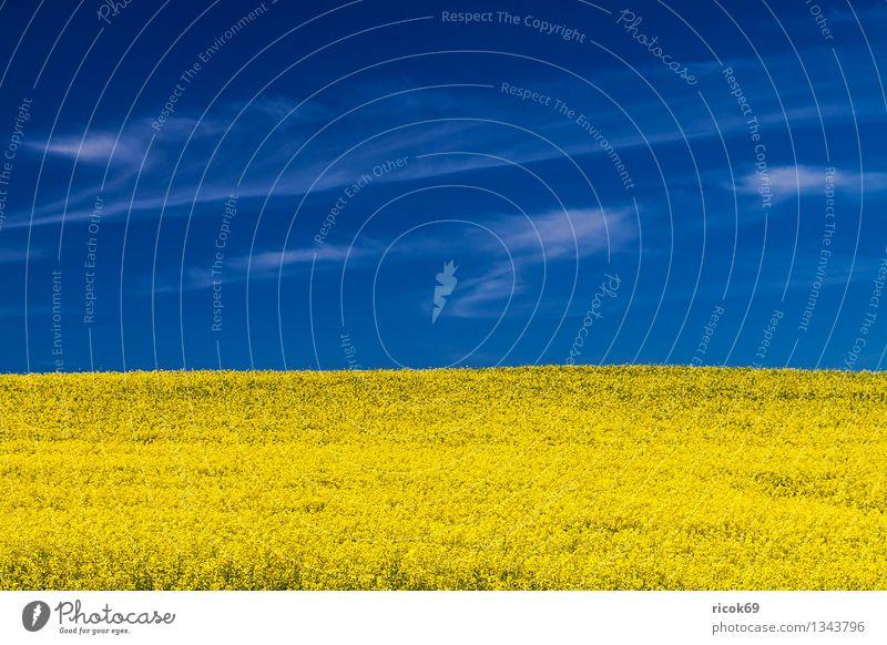 Rapsfeld Landwirtschaft Forstwirtschaft Natur Landschaft Pflanze Wolken Wetter Schönes Wetter Nutzpflanze Feld blau gelb Mecklenburg-Vorpommern Himmel heiter