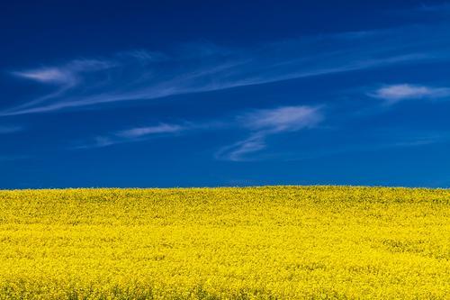 Rapsfeld Natur Pflanze blau Landschaft Wolken gelb Wetter Feld Schönes Wetter Landwirtschaft Mecklenburg-Vorpommern Forstwirtschaft Nutzpflanze heiter