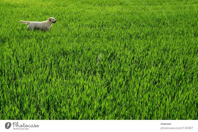 Ich bin bereit! Labrador Weizenfeld Feld Gras Wiese Hund Frühling grün Tier hellgrün Erwartung Säugetier heller Labrador gelber Labrador Labbi Landschaft
