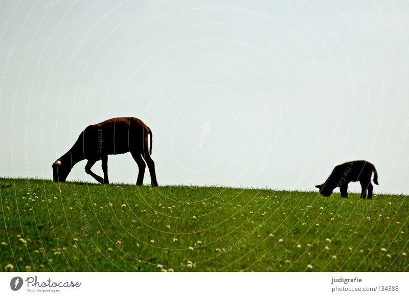 Die schwarzen Schafe Himmel Natur Tier Farbe Umwelt Wiese Ernährung Gras Frühling klein Idylle Kitsch zart Nordsee Gänseblümchen