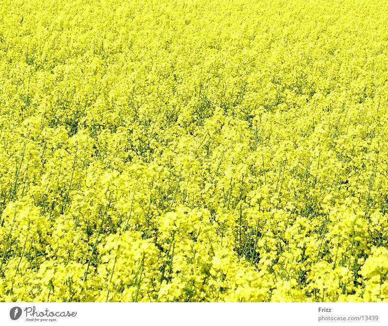 alles-gelb gelb Frühling Feld Raps