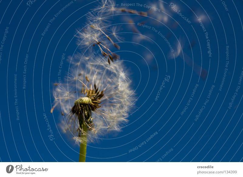Samen Flieger Staffel II Löwenzahn Blauer Himmel Stengel Nachkommen grün Fortpflanzung dunkel Makroaufnahme Nahaufnahme Frühling fliegen Freiheit Segel