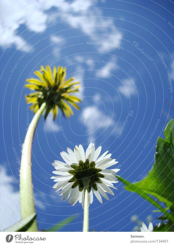Großer Bruder mit gefärbten Haaren Löwenzahn Wiese Gänseblümchen Blume weiß gelb grün Wolken Stengel Blüte Blütenblatt groß klein 2 gekrümmt Froschperspektive