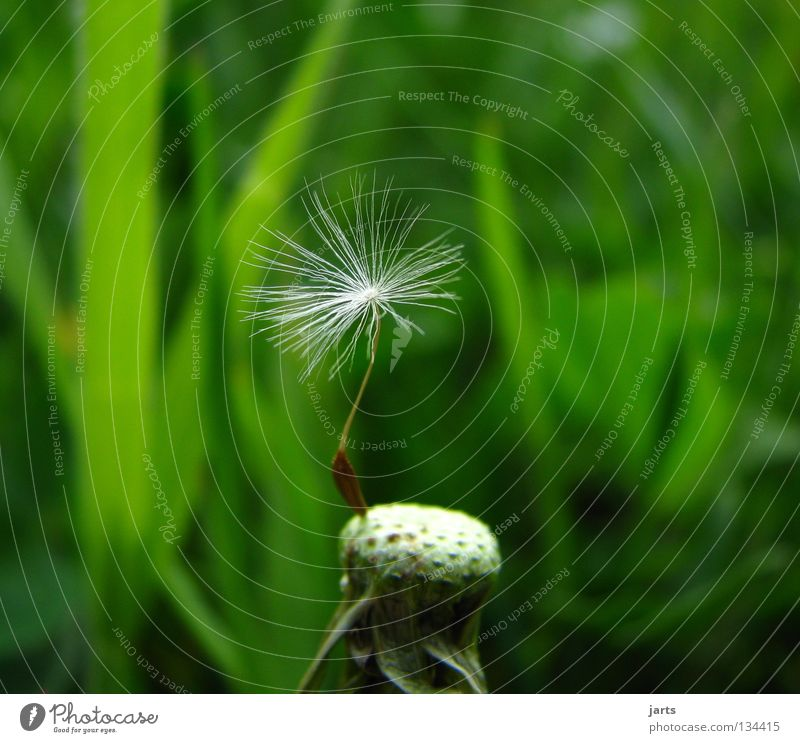 solo Blume grün Sommer Einsamkeit Wiese Vergänglichkeit Löwenzahn Blumenwiese