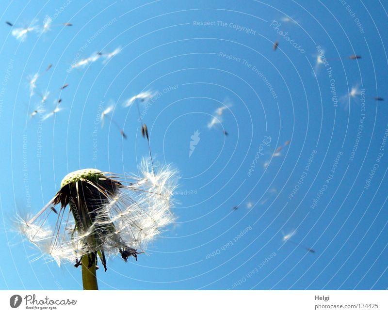 Pusteblume mit fliegenden Samen Blume Löwenzahn blasen mehrere säen Sommer Frühling Mai Wolken Pflanze Blühend Wiese Wegrand Wachstum gewachsen nebeneinander