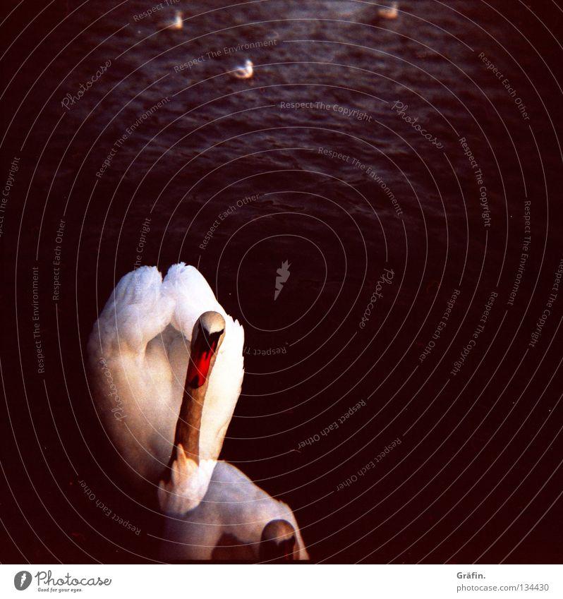 Schwan'n'see Alster Tier Vogel weiß schwarz See 2 Wellen Steg Neugier Holga Schnabel Lomografie kleine alster elegant Wasser Küste Doppelbelichtung Ente Feder