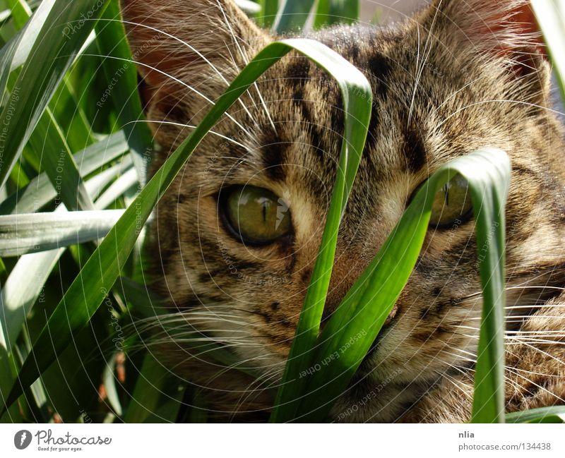 Auf der Lauer Katze Gras grün Säugetier Natur getigert