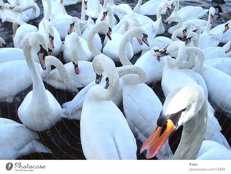 Mir schwant da was. Schwan weiß füttern Verkehr Wasservogel Hals