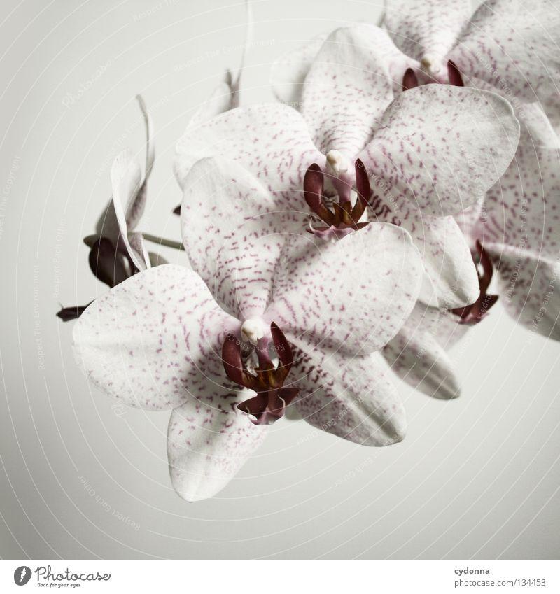 Lieblingsstück I weiß Blume Pflanze Orchidee schön gewachsen Blüte schick lieblich Eyecatcher Wohnung verschönern hinstellen Zimmerpflanze Botanik Bedecktsamer
