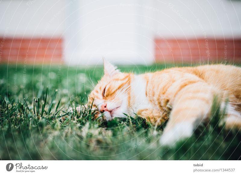 Spreedorado | Faulpelz Gras Garten Rasen Haustier Katze 1 Tier schlafen kuschlig ruhig Tigerfellmuster ruhen Mauer Backstein Backsteinwand faulenzen bequem