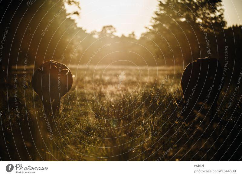 Rindviecher Natur Pflanze Sonnenaufgang Sonnenuntergang Sonnenlicht Sommer Schönes Wetter Baum Wiese Feld Wald Nutztier Kuh 2 Tier beobachten Fressen stehen