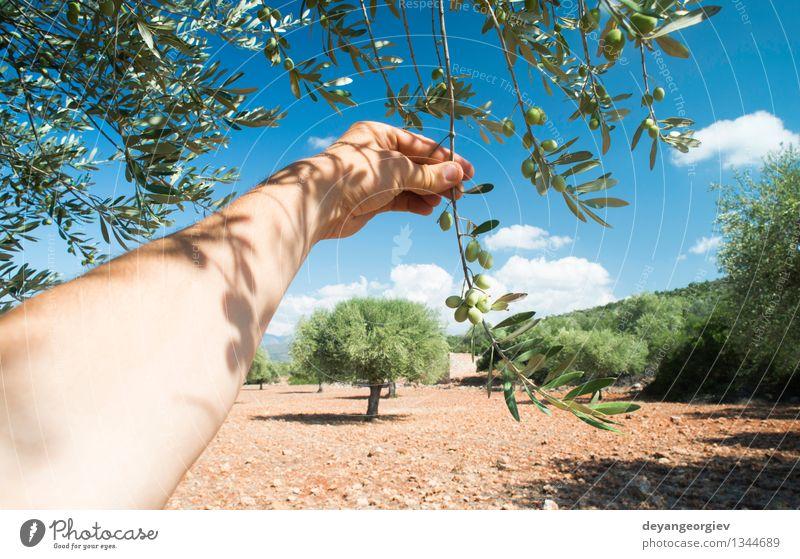 Hand, die Olivenbaumzweig hält. Gemüse Frucht Ernährung Garten Mensch Natur Pflanze Baum Blatt frisch grün oliv Erdöl Ast Kommissionierung Lebensmittel