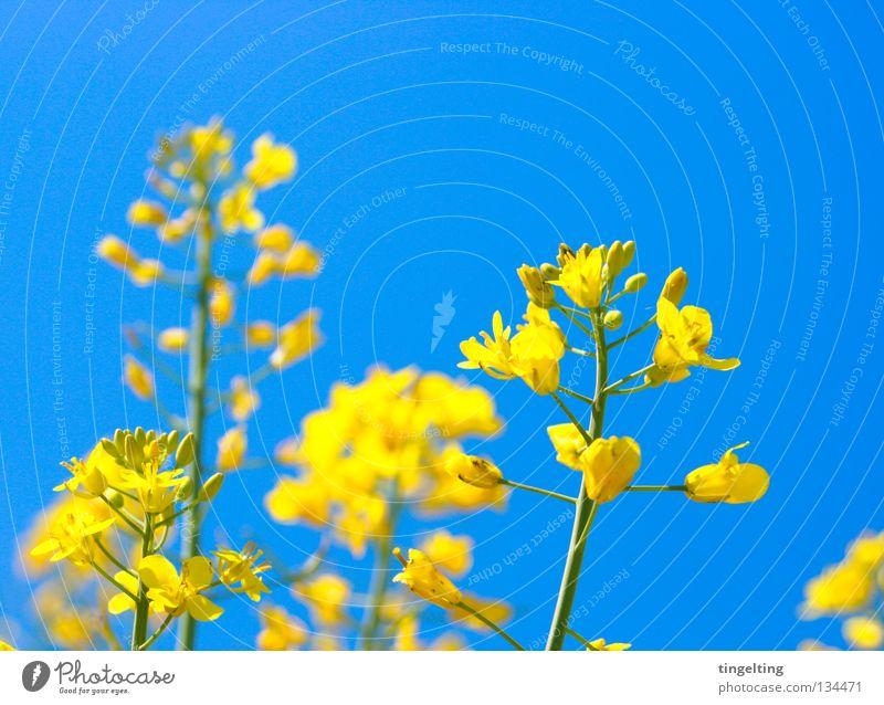 raps is in the air Himmel blau Pflanze gelb Blüte Feld nah Stengel Blühend Schönes Wetter Raps himmelblau sommerlich