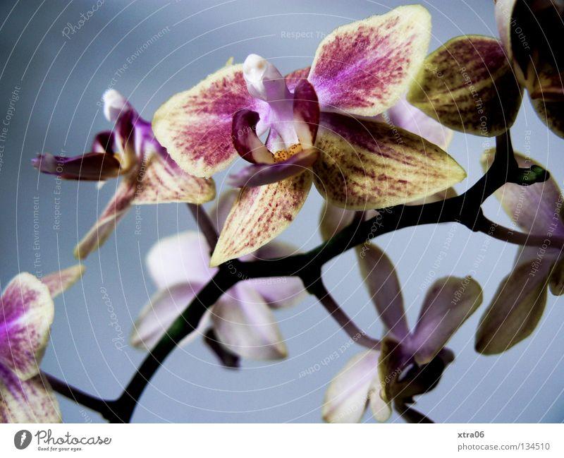 die schönheit Pflanze Blume Blüte zart Urwald sanft Orchidee