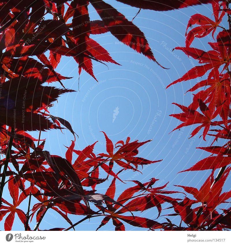 rote Ahornblätter am Rand vor blauem Himmel mit Textfreiraum in der Mitte Blatt Ahornblatt Frühling frisch Baum Sträucher Park lang mehrere nebeneinander