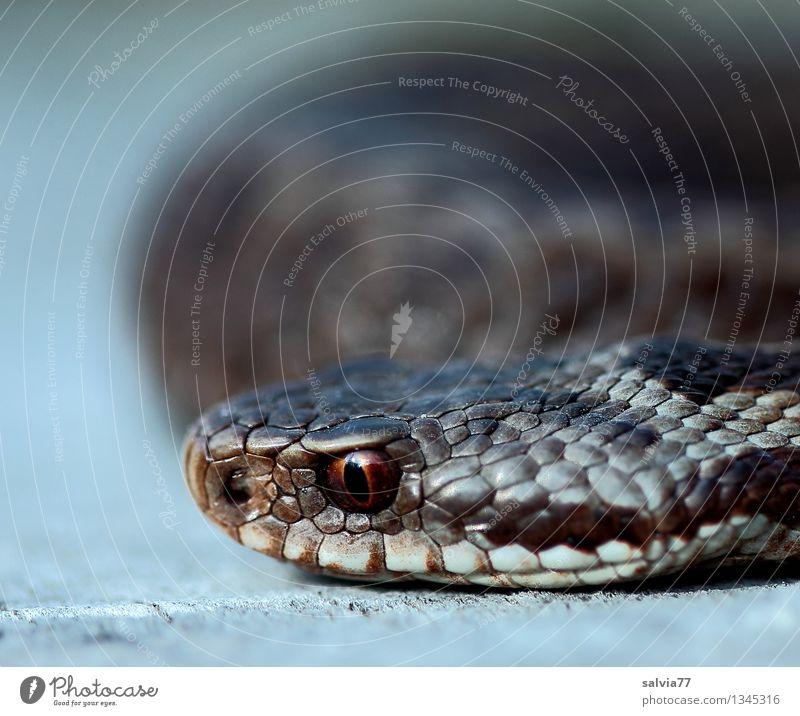 gefährliche Nähe Tier Wildtier Schlange Tiergesicht Schuppen Schlangenauge Natter Kreuzotter 1 beobachten sportlich Ekel exotisch braun bizarr bedrohlich Reptil