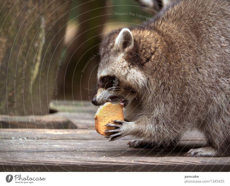 knusper knusper knäuschen... Natur Park Tier Wildtier 1 Essen Freude Leidenschaft lustig Waschbär Gebiss Backwaren schön Fell Pfote Fressen Farbfoto