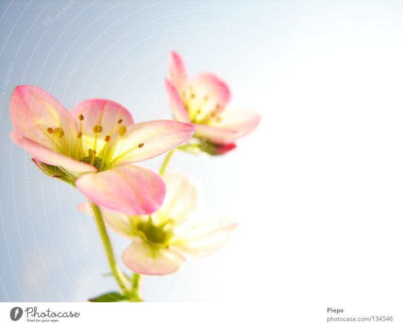 Klein aber fein Farbfoto Innenaufnahme Makroaufnahme Textfreiraum rechts Freude Dekoration & Verzierung Natur Pflanze Frühling Blume Blüte Blühend Wachstum rosa