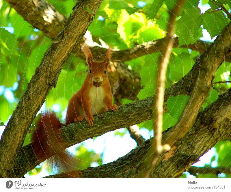 Frühlingshörnchen II Natur Baum grün Pflanze Blatt Tier Frühling Umwelt sitzen beobachten natürlich Neugier festhalten Wildtier niedlich Fressen
