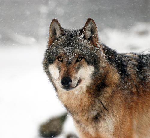 Wolf Natur Tier Winter Wald Schnee Schneefall Eis Wildtier Frost Zoo Stolz Schüchternheit